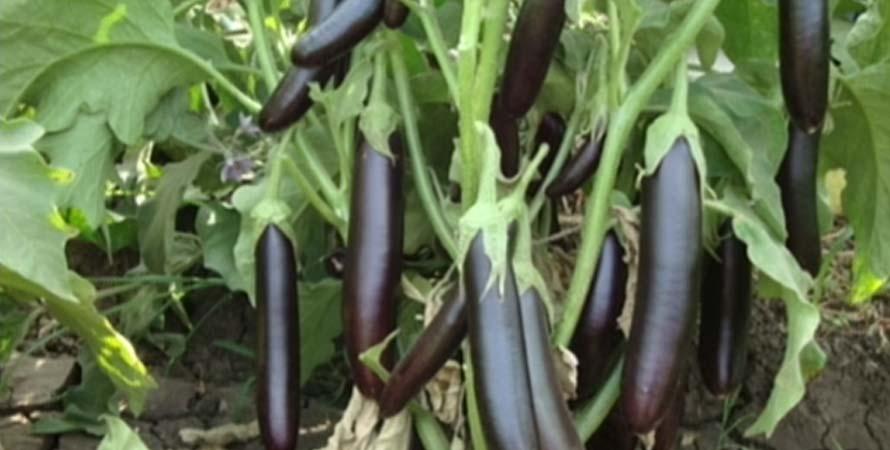 Primo Eggplant